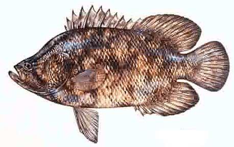 Fantastic fish for Triple tail fish taste